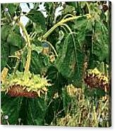 Seeds 2 Acrylic Print by Baywest Imaging