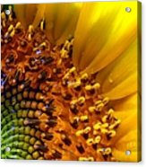 Seeds Of Sunshine Acrylic Print