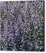 Seeing Lavender Acrylic Print