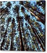 Seeing The Forest Through The Trees Acrylic Print