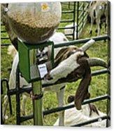 Self Serve Goat Acrylic Print