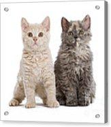 Selkirk Rex Kittens Acrylic Print