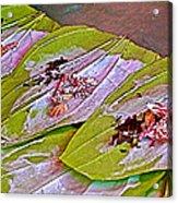 Selling Betel Nut For Chewing In Tachilek-burma Acrylic Print