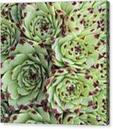 Sempervivum Calacreum Acrylic Print by Science Photo Library