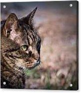 Senior Cat Acrylic Print