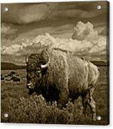 King Of The Herd Acrylic Print