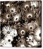 Sepia Asters Acrylic Print