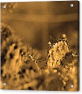 Sepia Cacti Close Up Acrylic Print
