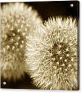Sepia Dandelions Acrylic Print