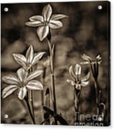 Sepia Dreams Acrylic Print