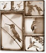 Sepia Hummingbird Collage Acrylic Print