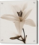 Sepia Lily In Snow Acrylic Print