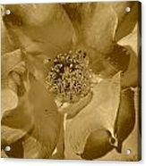 Sepia Toned Rose Close Up Acrylic Print