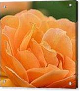 September Rose Acrylic Print