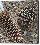 Sequoia Pine Cones Acrylic Print
