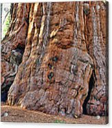 Sequoia Tree Base Acrylic Print