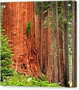 Sequoias Acrylic Print by Inge Johnsson