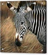 Serengeti Zebra Acrylic Print