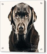 Serious Chocolate Labrador Acrylic Print