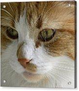 Serious Gato 3 Acrylic Print