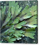 Serrated Or Toothed Wrack Acrylic Print