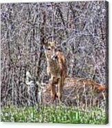 Sertoma Park Deer Acrylic Print