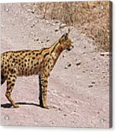 Serval Cat Acrylic Print