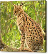 Serval Leptailurus Serval Acrylic Print