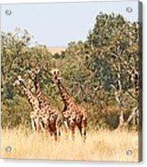 Seven Masai Giraffes Acrylic Print
