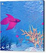 Several Red Betta Fish Swimming Acrylic Print