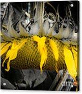 Shaded Sunflower Acrylic Print