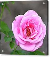 Shades Of Pink Acrylic Print