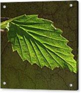 Shadows And Light Of The Leaf Acrylic Print