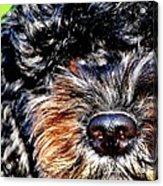 Shaggy Black Dog Acrylic Print