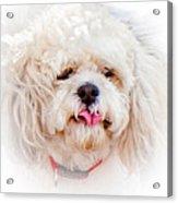 Shaggy Dog Acrylic Print