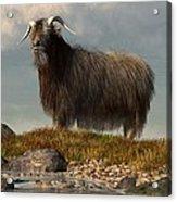 Shaggy Goat Acrylic Print