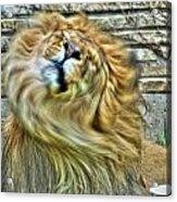 Shake It Off Lazy Boy At The Buffalo Zoo Acrylic Print