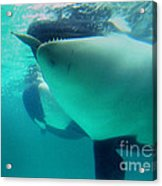 Shamu Was  1965-1971 Orca Sea World California 1968 Acrylic Print