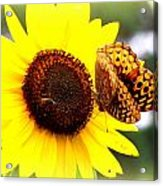 Sharing The Sunflower Acrylic Print