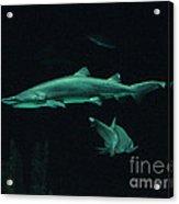 Sharks-09433 Acrylic Print