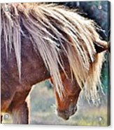 She Tossed Her Mane - Wild Pony Of Assateague Acrylic Print
