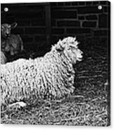 Sheep 2 Acrylic Print