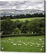 Sheep And More Sheep Acrylic Print