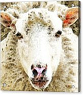 Sheep Art - White Sheep Acrylic Print