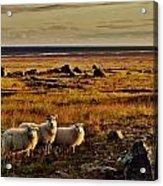 Sheep At Sundown  Acrylic Print