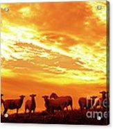 Sheep At Sunrise Acrylic Print