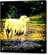 Don't You Look At Me With That Sheep Attitude  Acrylic Print