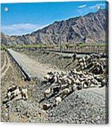 Sheep Crossing The Road To Shigatse-tibet  Acrylic Print