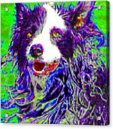 Sheep Dog 20130125v4 Acrylic Print by Wingsdomain Art and Photography