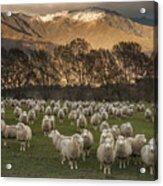 Sheep Flock At Dawn Arrowtown Otago New Acrylic Print